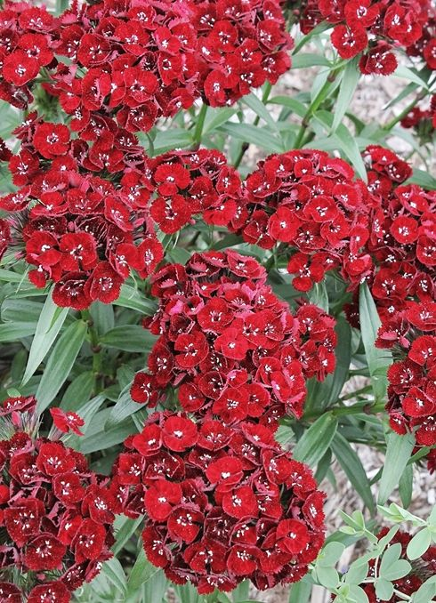 Dianthus barbatus 'Heart Attack' - The picture doesn't even do it justice, it's AMAZING.