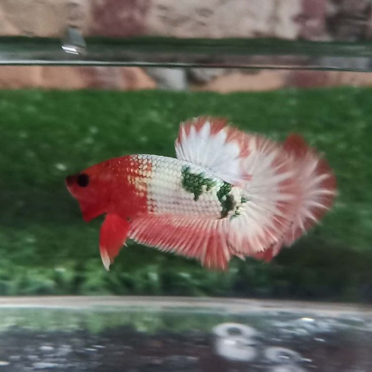 Knowing All Types Of Betta Fish By Tail Pattern And Color With Photo And Description In 2020 Betta Fish Types Betta Fish