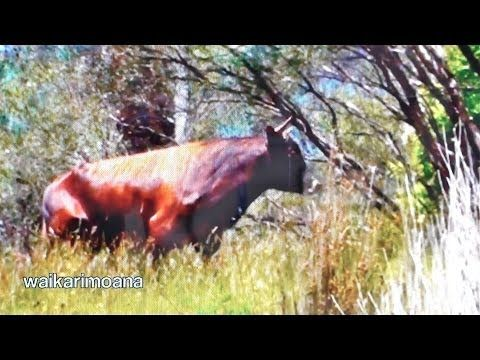 Hunting wild bull in New Zealand part 1(bow hunting) - YouTube