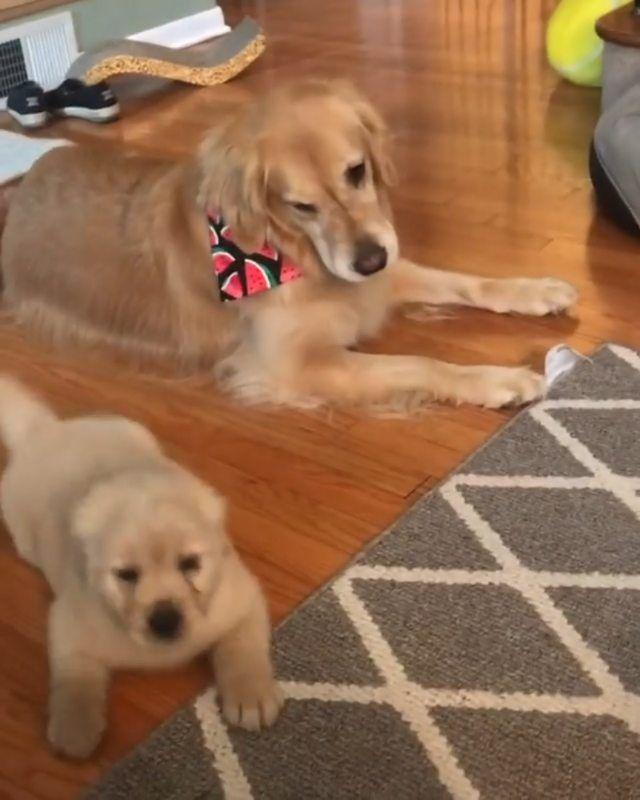 Golden Retrievers On Instagram Hyper Puppy Mojito Rose