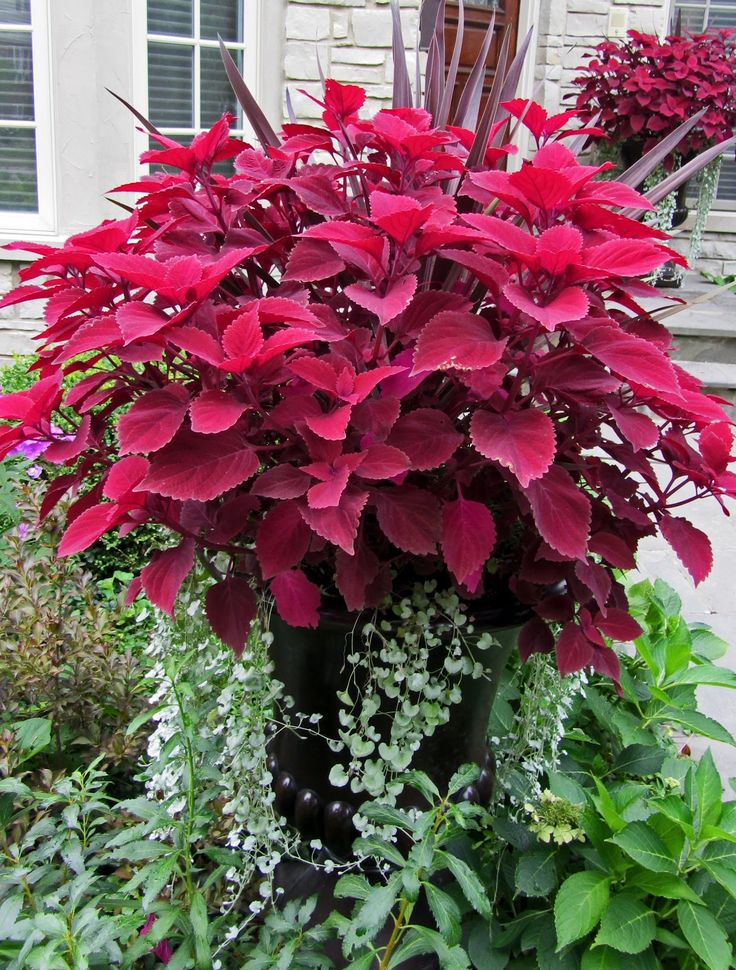 """""""Redhead"""" coleus and silver falls (Dichondra hybrid) ... I think there is a cordyline plant hiding in the back too ... pretty!!"""