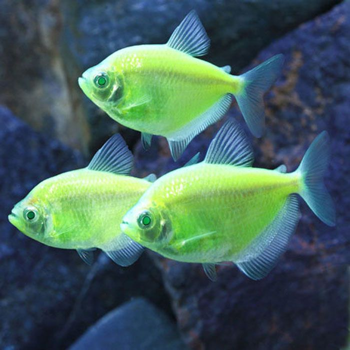 Electric green glofish tetra gymnocorymbus ternetzi for Tetra acquario