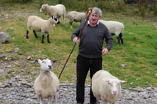 Irish sheep herding | Luck o' the Irish... | Pinterest