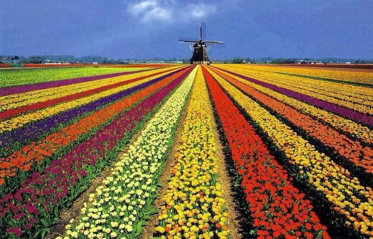 Campos de tulipanes en Holanda ym💫