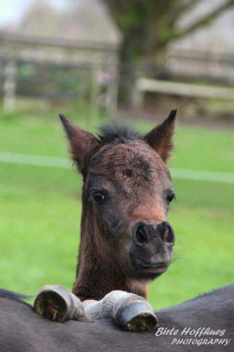 I'm adorable! Cute little minature horse with a big fuzzy head. His hooves are propped up on Momma's back. I love this fuzzy little horse!