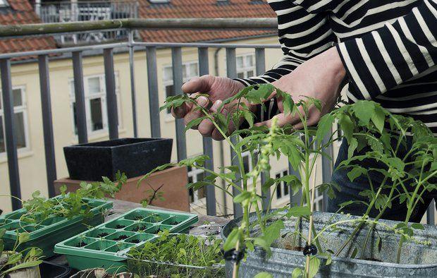 Når du dyrker dine egne grøntsager i storbyen, får du motion og hyggeligt samvær. Det vejer meget højere end den lille risiko for, at dine grøntsager er farlige. Foto: Claus Bjørn Larsen.