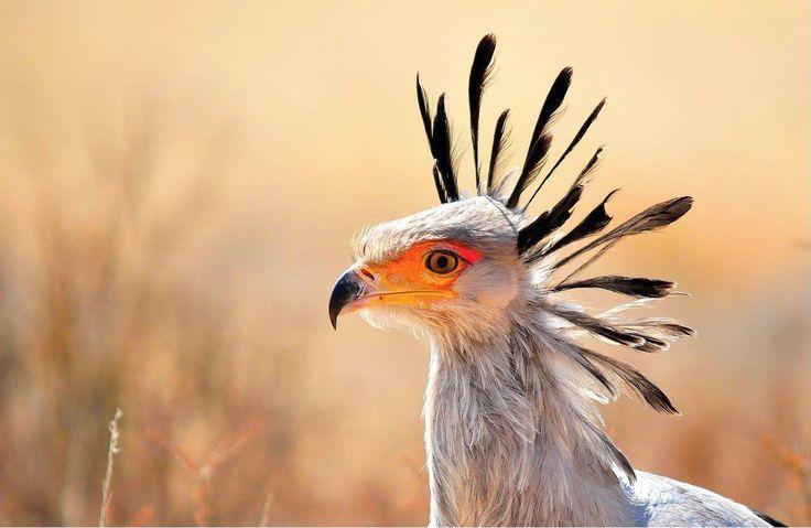 Secretary Bird - Kgalagadi, South Africa