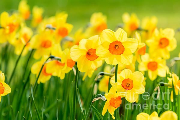Narcissus By Ingemar Magnusson