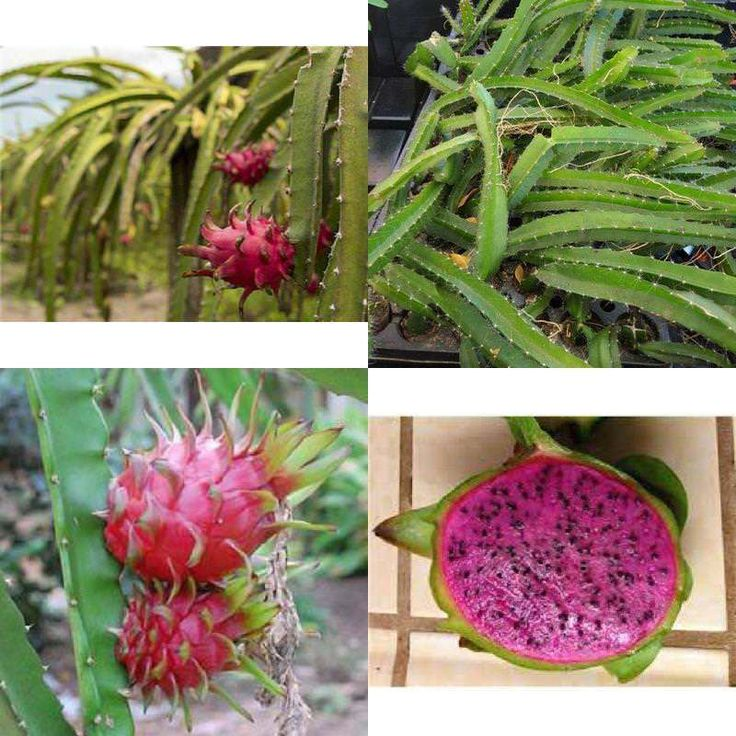 Dragon Fruit Four Live Plant Edgar's Baby Deep Red Plants (4) Garden Outdoor NEW #DragonFruit4 #Custom