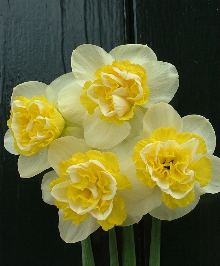 Narcissus Wave - Double Narcissi - Narcissi - Flower Bulbs Index