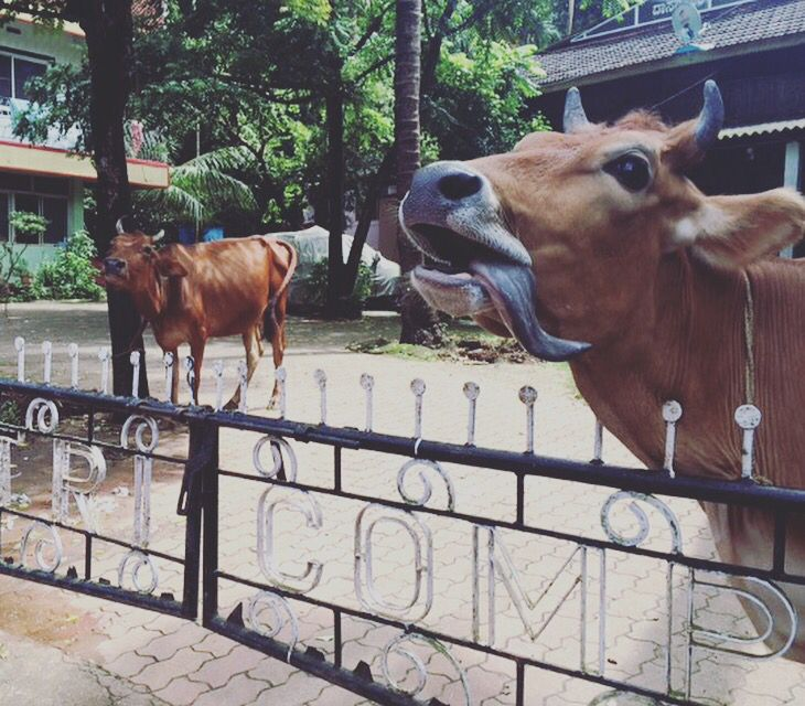 Love #cows of #india #travel
