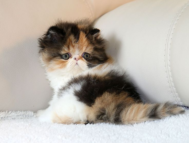 File Skull of a Persian cat in addition VHQjvrFUdrE further Teacup Kittens furthermore AyNdsfsqqqw also Fortnum Mason Gourmet Salts And Coconut Gold. on persian himalayan