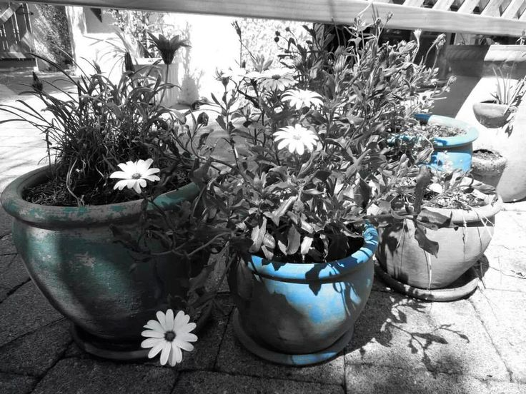 Black and white plants with a blue pot
