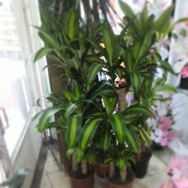 #dracena #massengena #dracenamassengena #ispartacicekci #florist #Isparta #cicekispartacom #cicekisparta Isparta çiçek gönderimi