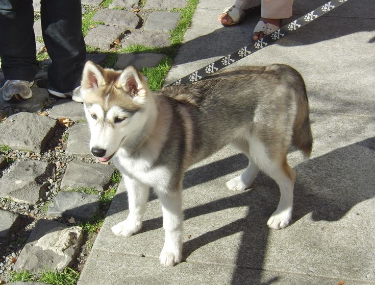 3/4 Husky, 1/4 Wolf!!! SO CUTE!
