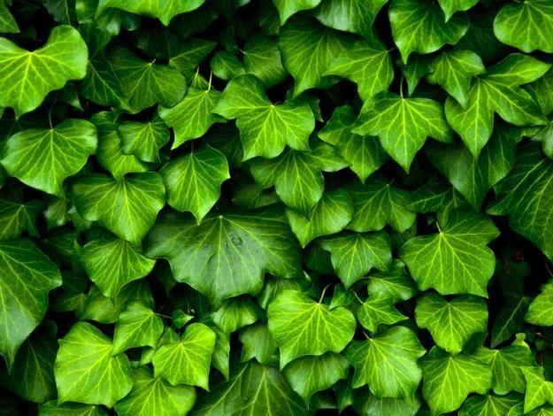 Remedios caseros para teñir las canas - #5 Champú de hiedra