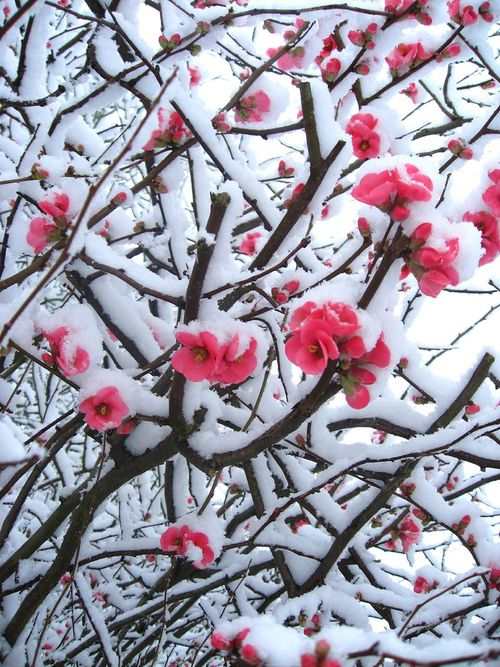 blossoms in the snow...