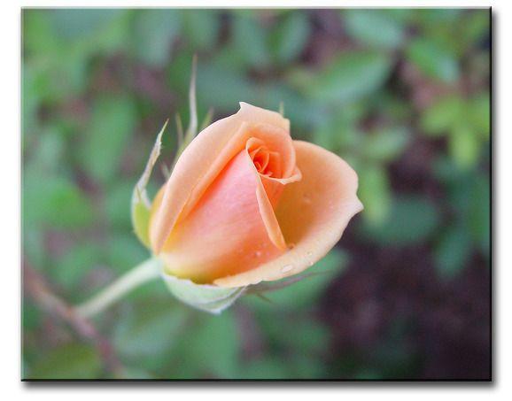 꽃봉우리 | 장미꽃봉우리