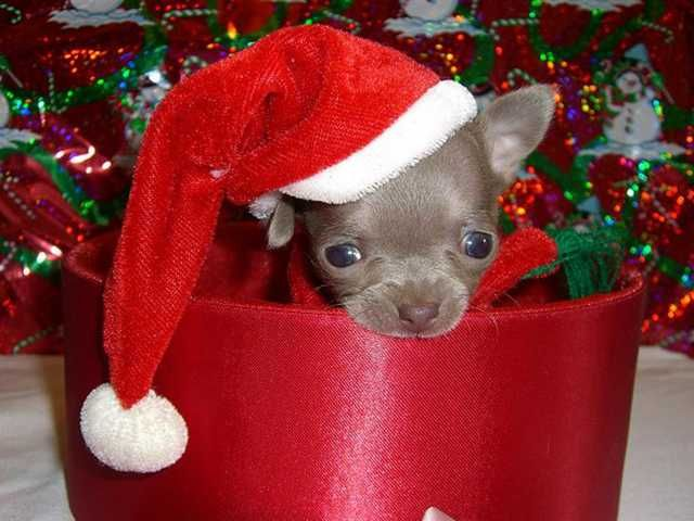 christmas puppy pictures | Christmas Puppies | Plus Pets - Dogs, Cats, Puppies, and much more...