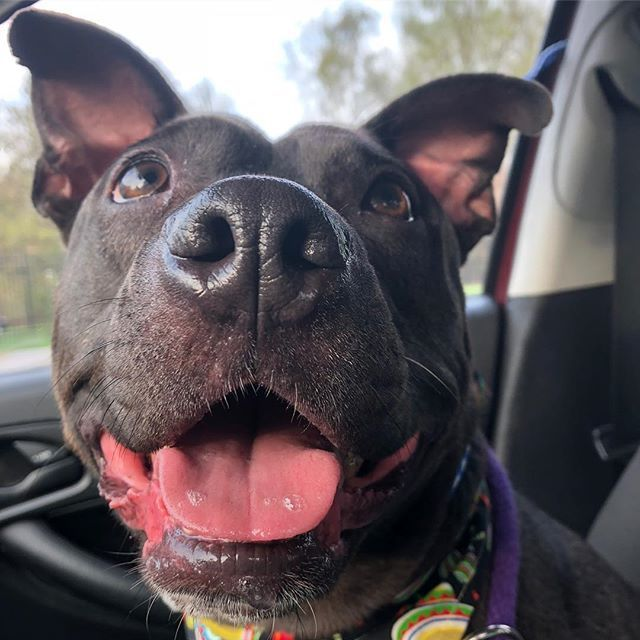 Twilight The Bowling Ball Esque Baby Hippo Ish Roly Poly Pupper Has A Tail That Never Stops Wagging And A Smile That Should L Canine Care Dog Friends Canine