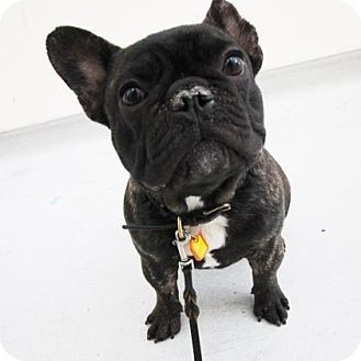 Pictures of Sage a French Bulldog for adoption in San Francisco, CA who needs a loving home.