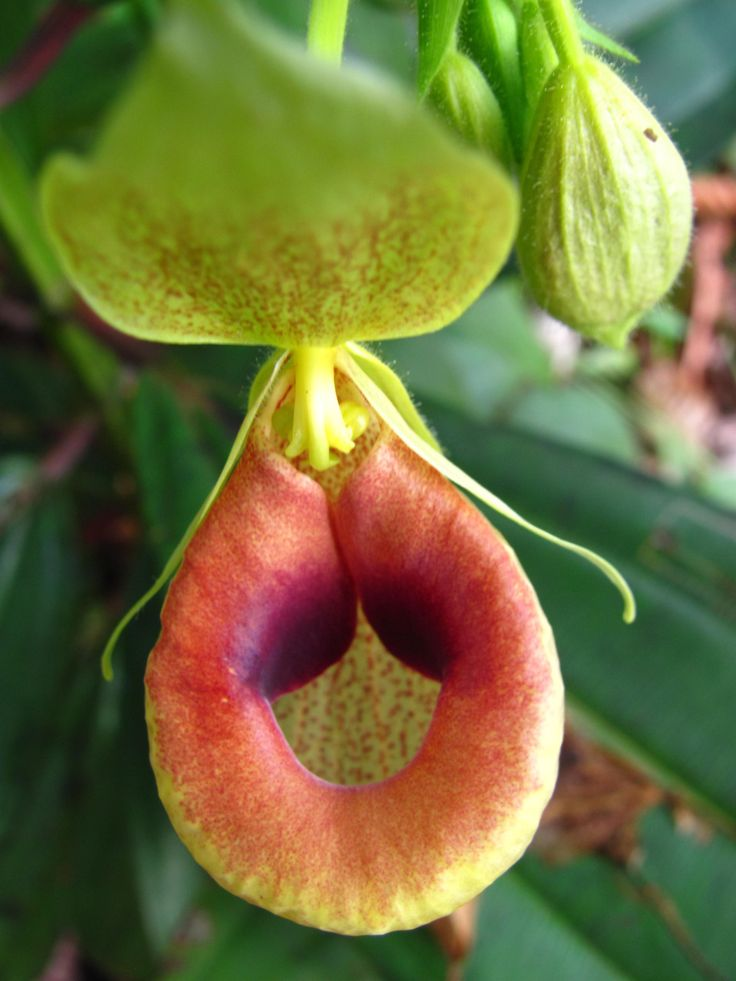 Selenipedium chica - Zapatito - Lady's Slipper Mírenla bien. Ya no quedan muchas en la naturaleza. Take a good look at it. There are not many left in the wild.