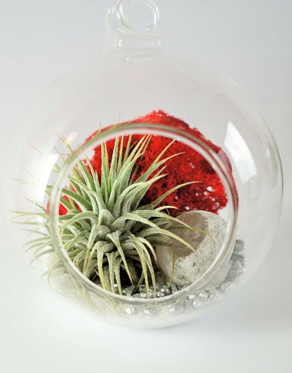 Airplant terrarium kit with Ionantha  clear round by AlvinaDecco