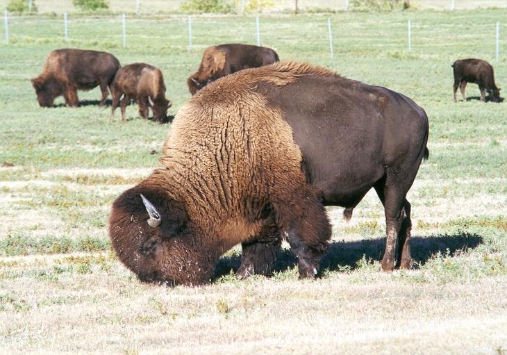 Buffalo Herd - Frontier West Park