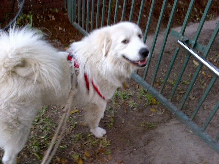 63 best GREAT PYRENEES - US LOST DOG REGISTRY images on ...