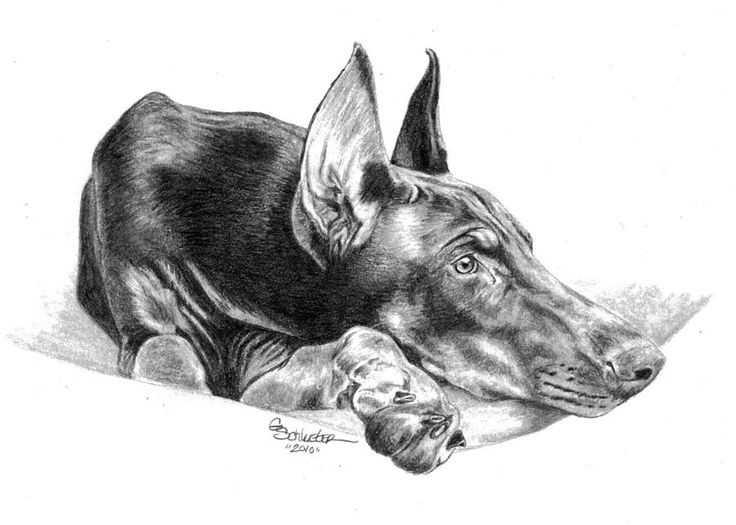 The Doberman Drawing
