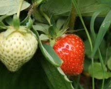 Recommended Strawberry Varieties by State - There are hundreds of different strawberry varieties.  Each one performs differently depending on the climate and conditions in which it is grown.  To maximize strawberry production, it is important to choose a strawberry variety that is well-suited to your growing region.