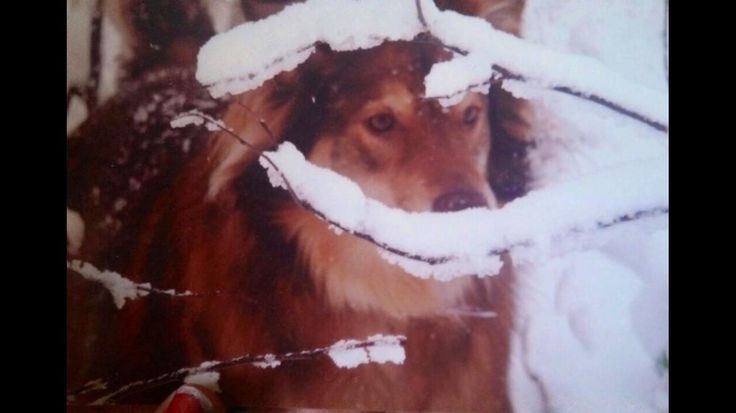 This is my Red Husky mix Crimson hiding in the woods enjoying one of her only snow days in the south.http://ift.tt/2wEHv9u