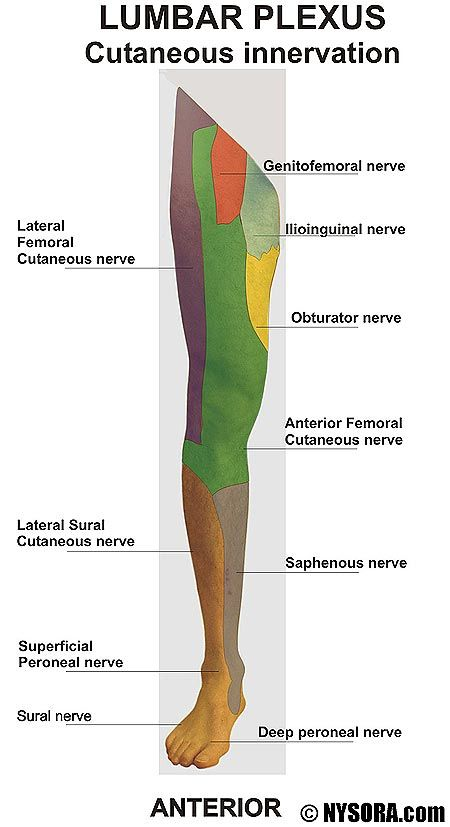 obturator nerve - Google Search | Plexus products, Muscle ...