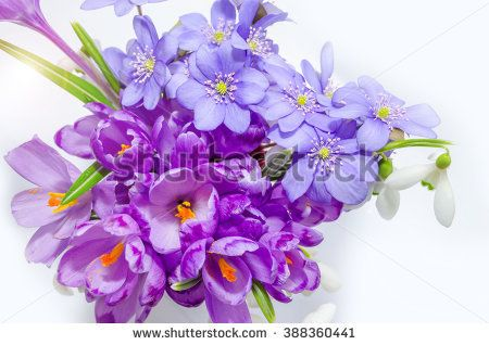 stock-photo-delicate-snowdrop-blue-hepatica-and-purple-crocus-flowers-on-white-background-388360441.jpg (450×318)