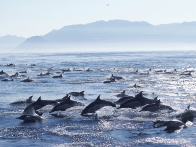 Dolphins in False Bay, South Africa.