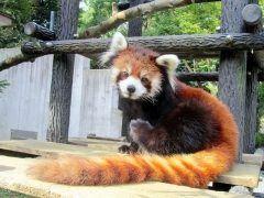 千葉市動物公園で飼育されていたレッサーパンダのまいが繁殖のため福岡県大牟田市の動物園に引っ越すんだって 日にお別れの会を開き飼育舎前で好物のリンゴをまいに贈るんだそうですよ 人気者だっただけに寂しくなりますね(;)  tags[千葉県]