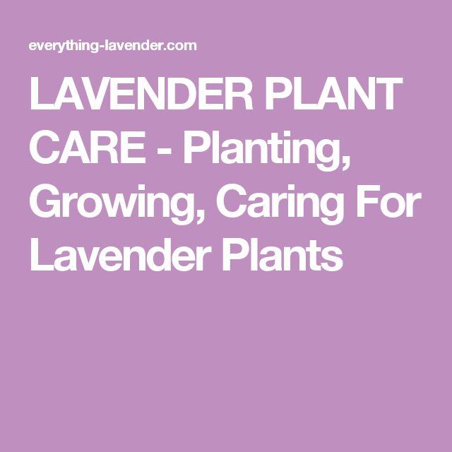 best 25 lavender plants ideas on pinterest growing lavender how to plant lavender and when. Black Bedroom Furniture Sets. Home Design Ideas