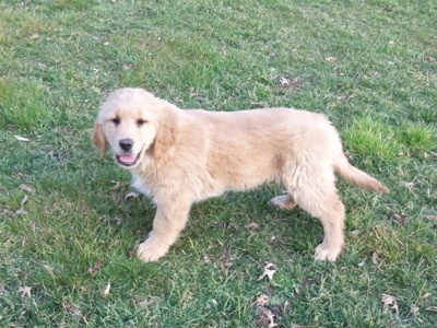 AKC GOLDEN RET. PUPPIES...BIG AND STOCKY GIANT TEDDY BEARS