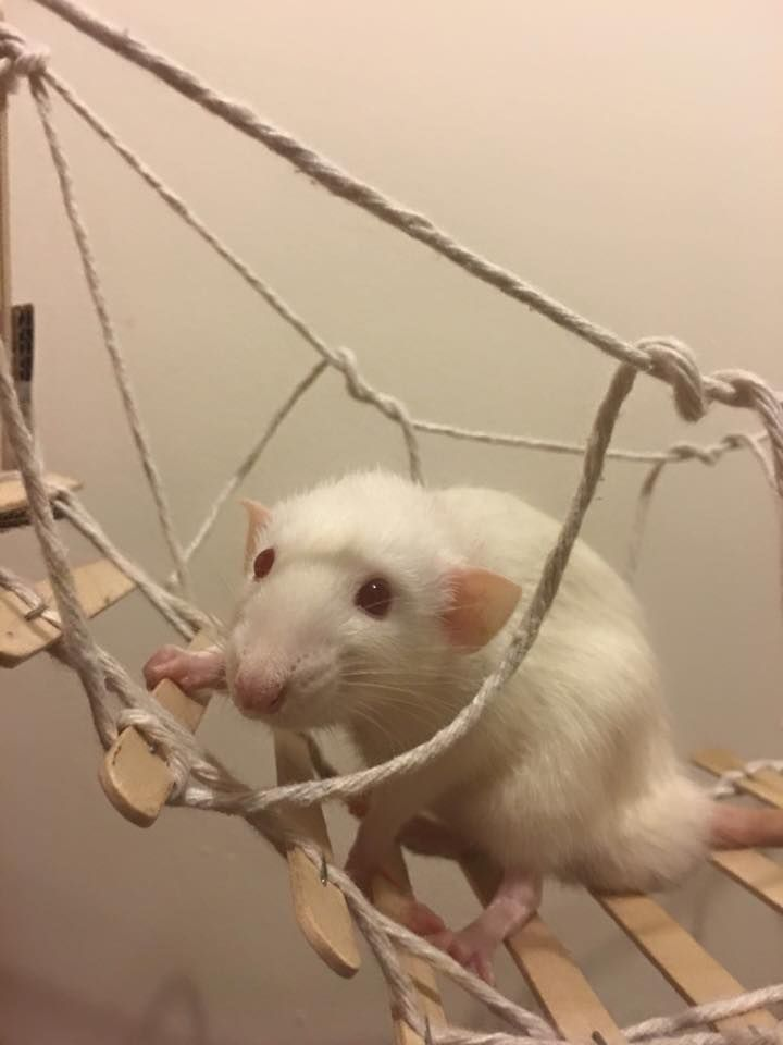 This would be a super cute idea for a rat bridge or ramp. --- although I personally don't like the use of staples...