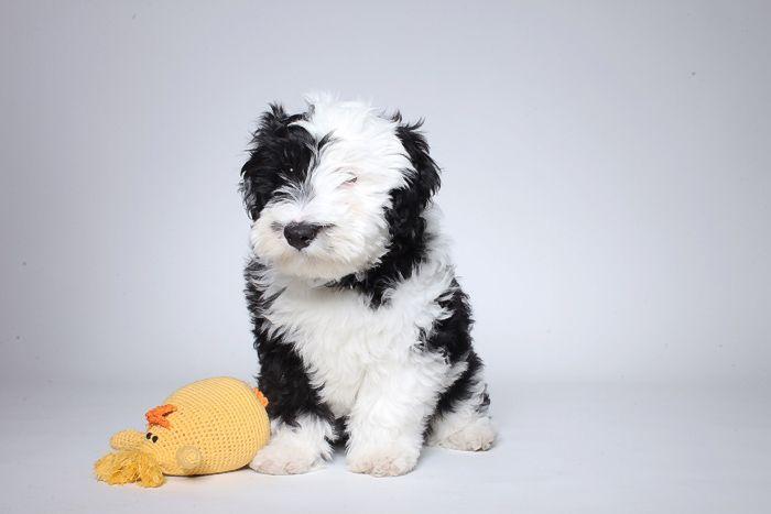 Sheepadoodle (Sheepdog-Poodle mix) Info, Miniature, Puppies, Pictures