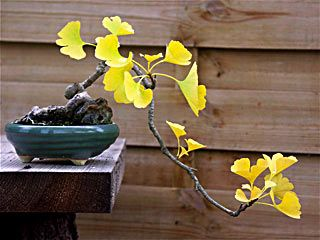 Ginkgo bonsai: Kengai Style, Bonsai Trees, Ginkgo Trees, Living Fossil, Gingko Bonsai, Ginkgo Bonsai, Nature Trees Bonsai, 23 Bonsai, Cascading Style