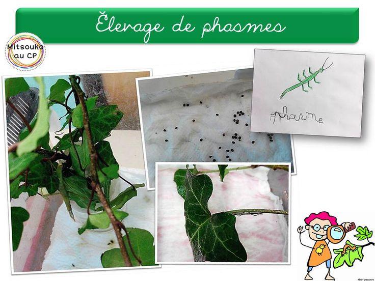 Présentation de l'élevage de phasmes de la classe, et des petites astuces d'aménagement des terrariums.
