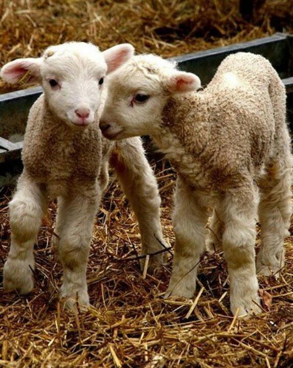 Cute little baby lambs :-) | Ever So Precious! | Pinterest