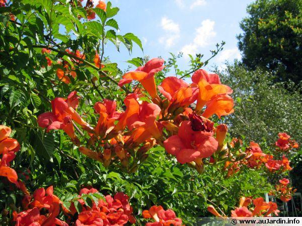 Fleur du Jasmin de virginie, Bignone, Trompette de Virginie, Campsis