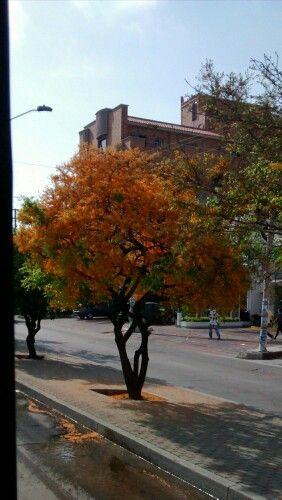 Bella estampa de la flora barranquillera. Por estos días florecen los árboles de la ciudad anunciado que llega mayo; el mes de las flores  y de las madres. Especies nativas como esta, deben ser preservadas y sembradas por toda la ciudad, es resistente al verano y como tributo la  adorna con sus flores anaranjadas!