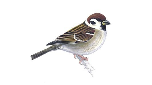 Tree sparrow:The UK tree sparrow population has suffered a severe decline, estimated at 93 per cent between 1970 and 2008. red status