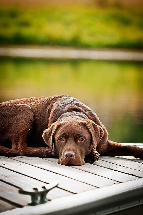 a loyal and contented chocolate lab