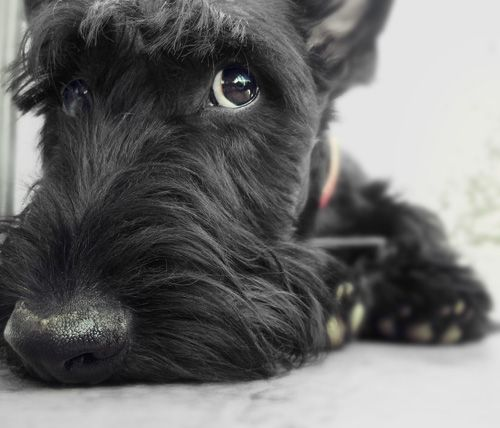 I got to hold a Scottie today at the pet store & they're honestly the cutest puppies EVER!