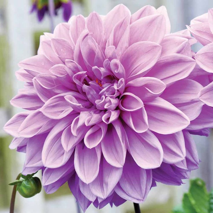 Dahlia 'Blue Wish' - Spring plants and bulbs 2013 - Thompson & Morgan