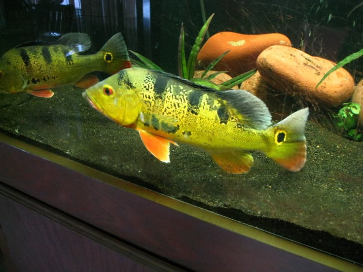 137 best images about big cichlids on pinterest for Big freshwater aquarium fish